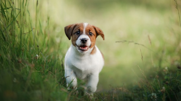 Happy purebred puppy romping in field.