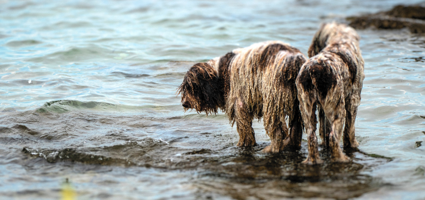 Two muddy, very wet, purebred dogs standing in a shallow body of water.
