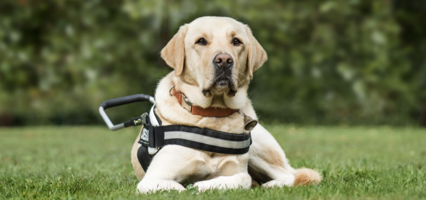 Yellow Lab seeing eye/guide dog sitting in grass