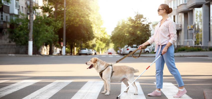 Purebred Labrador Retriever guide dog with woman holding white cane crossing a cross walk.