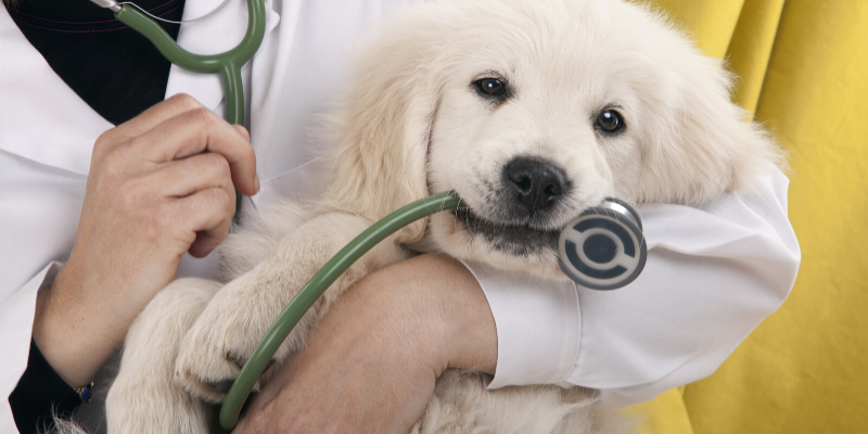 Purebred Golden Retriever Puppy in Veterinarian's Arms