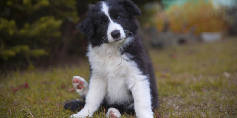 Border Collie puppy in field.