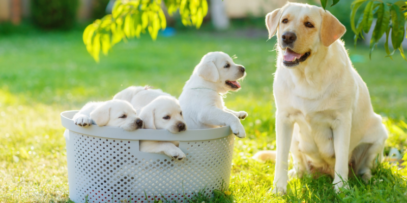Basket of Labrador puppies next to their mother.