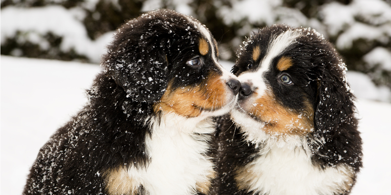 Two Bernese Mountain Dog puppies sitting in snow.