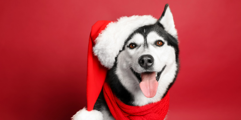 Husky wearing Santa hat and red scarf.
